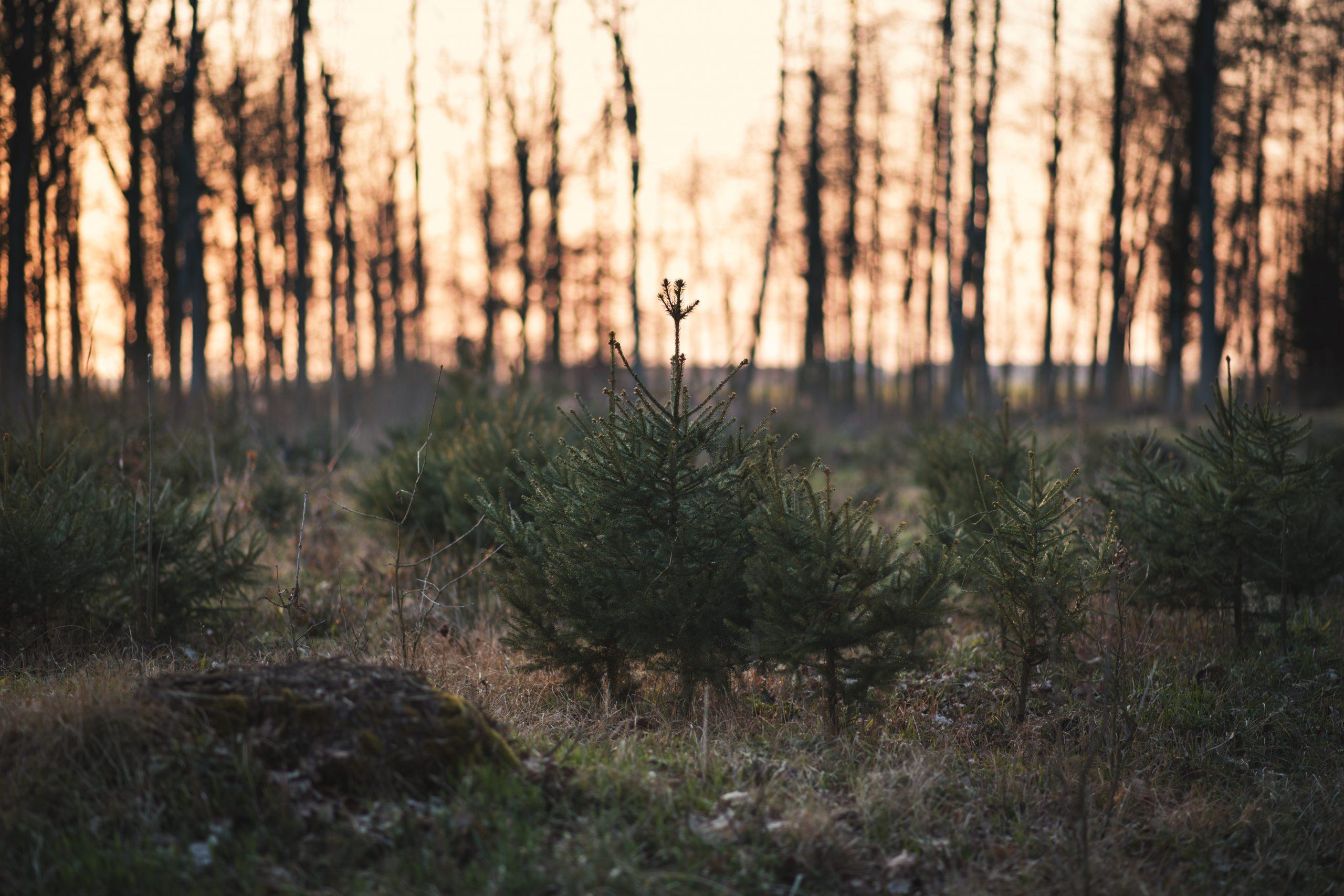 Travaux sylvicoles Coopérative forestière Ferland-Boilleau
